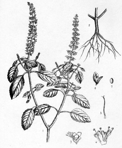 Holy Basil From Indian Medicinal Plants by B.D. Basu, 1918