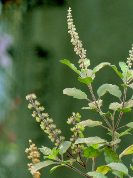 Tulsi, or Holy Basil