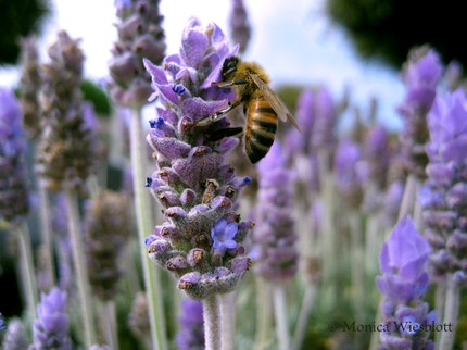 lavender & Honey Bee photo from My Little Eye on Etsy